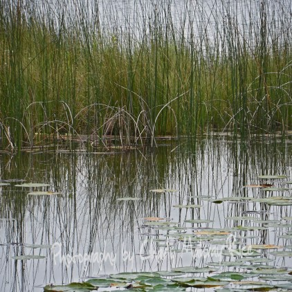 Rush and Sedges along shore of Fountain Lake